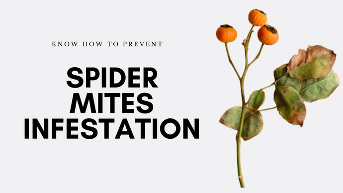 How To Prevent Spider Mites Infestation