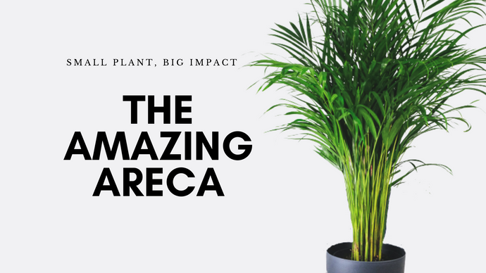 The Amazing Areca- Small Plant, Big Impact