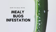 How to Deal With Mealy Bugs Infestation