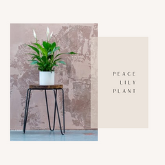 Peace Lily- Office Plants- Leafy Island