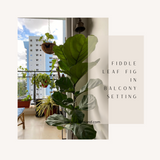 Fiddle Leaf- Home Plants- Leafy Island