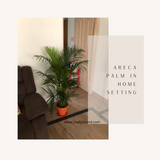Areca Palm- Tall Plants- Leafy Island