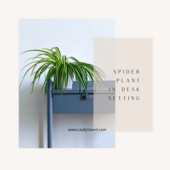 spider plant - plants for office - leafy island