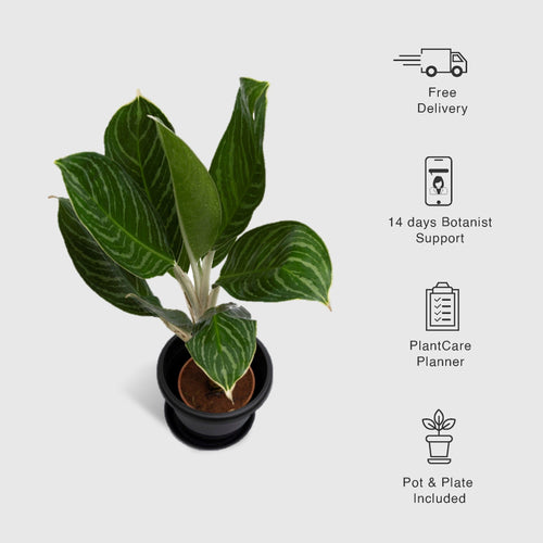 Aglaonema Stripes - Leafy Island