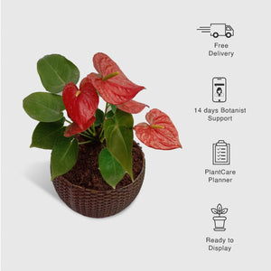 Anthurium in a Woven Basket Planter - Leafy Island