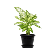 Load image into Gallery viewer, Chinese Evergreen Plant, Aglaonema Costatum