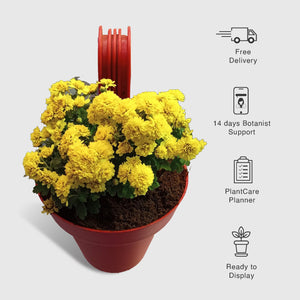 Chrysanthemum in Paris Red Railing Pot - Leafy Island