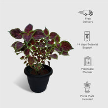 Load image into Gallery viewer, Coleus Maroon Plant