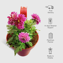 Load image into Gallery viewer, Dahlia in Paris Red Railing Pot - Leafy Island