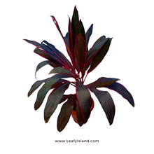 Load image into Gallery viewer, Cordyline Fruticosa Plant