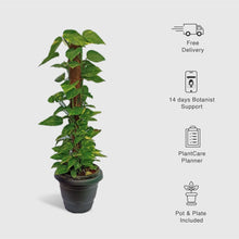 Load image into Gallery viewer, Money Plant Tall - Leafy Island