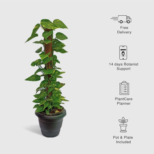 Money Plant Tall - Leafy Island