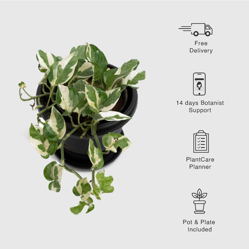 Money Plant Green White, Epipremnum aureum, Devil's Ivy - Leafy Island