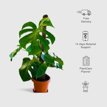 Load image into Gallery viewer, Monstera Deliciosa, Swiss Cheese Plant - Leafy Island