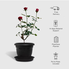 Load image into Gallery viewer, Red Rose Plant