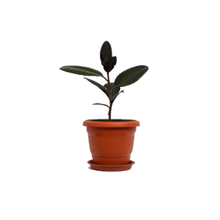 Load image into Gallery viewer, Rubber Plant, Rubber Tree, Ficus Elastica Plant