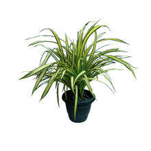 Load image into Gallery viewer, Spider Plant Vareigated, Chlorophytum Comosum - Leafy Island