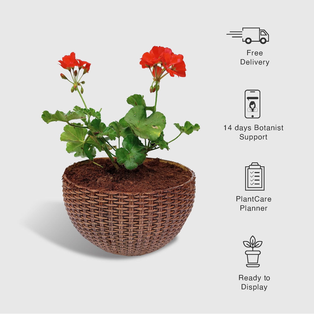 Geranium Plant in a Woven Basket Planter