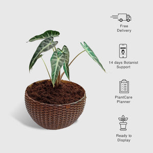 Alocasia Plant in Woven Basket Planter