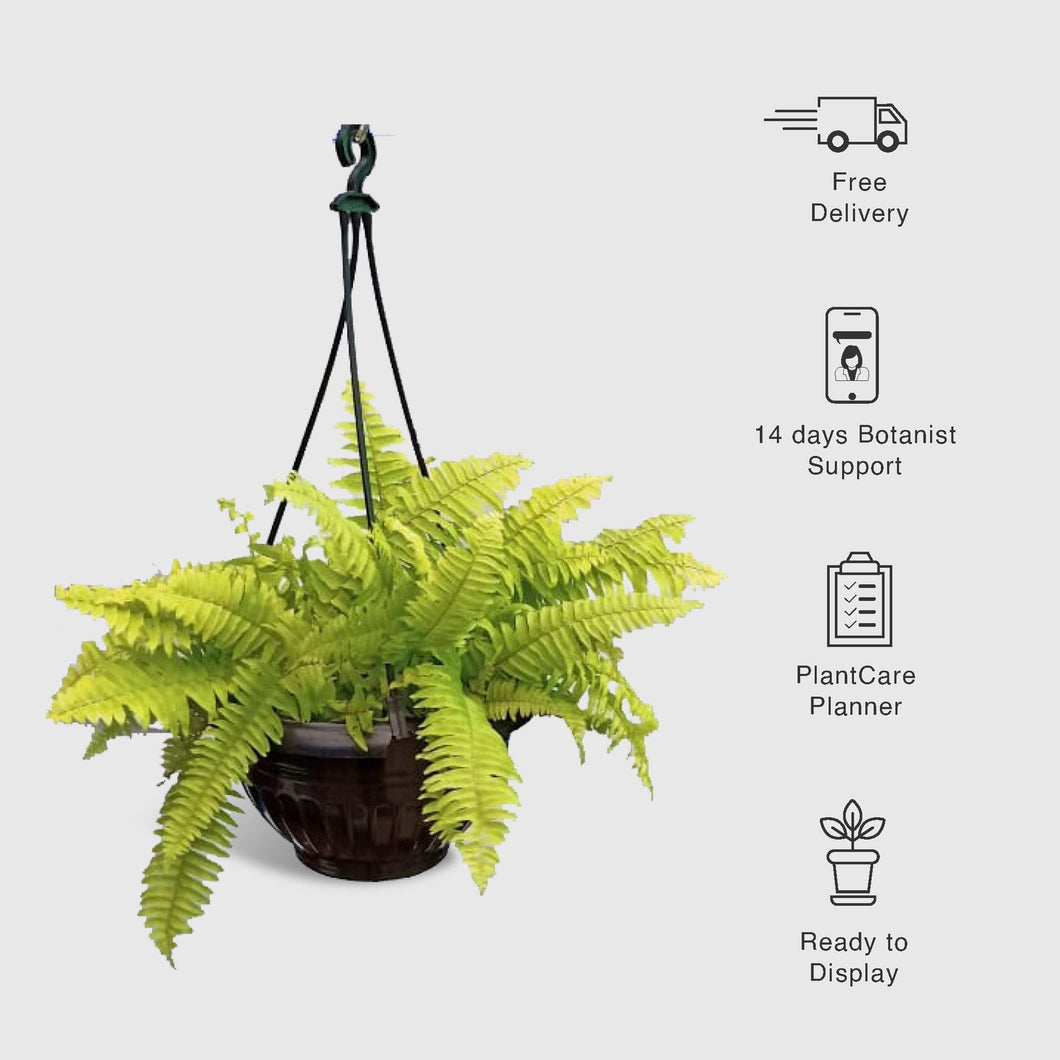 Boston Fern in Hanging Basket