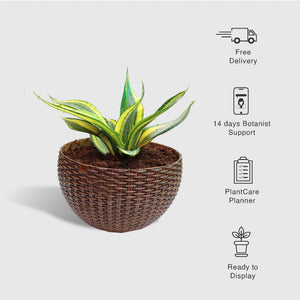 Snake Plant Laurentii in a Woven Basket Planter