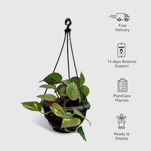 Load image into Gallery viewer, Money Plant in Hanging Basket