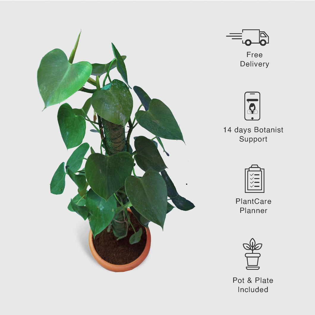 Philodendron Hederaceum Plant, Heartleaf Philodendron