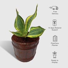 Load image into Gallery viewer, Snake Plant (Laurentii) In Mini Wine Bucket Planter