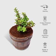 Load image into Gallery viewer, Jade Plant In Mini Wine Bucket Planter - Leafy Island