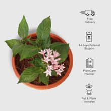 Load image into Gallery viewer, Pentas Plant