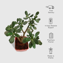 Load image into Gallery viewer, Jade Plant (Big Leaf), Crassula Ovata - Succulent Plant
