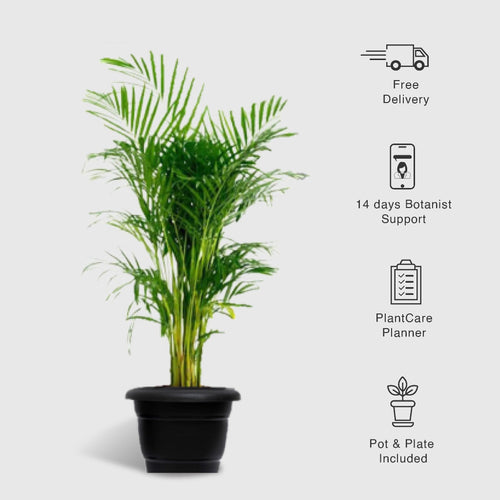 Areca Palm Big (3.5 feet tall), Dypsis Lutescens - Leafy Island