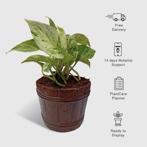 Money Plant Marble In Mini Wine Bucket Planter - Leafy Island
