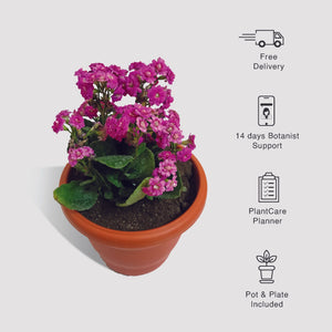Kalanchoe Purple Plant, Widow's Thrill Plant