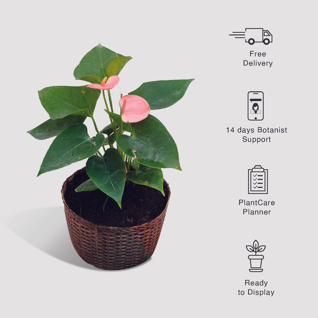 Pink Anthurium Plant In Woven Vase Planter