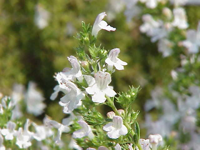 Winter Savory EO