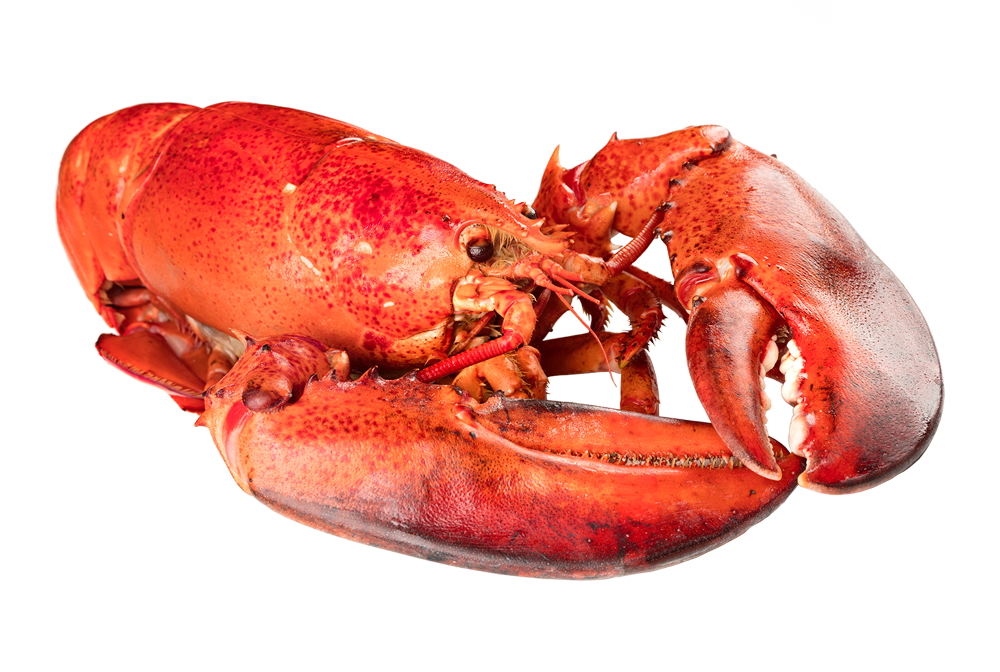 Fresh Atlantic Lobster - How to Steam