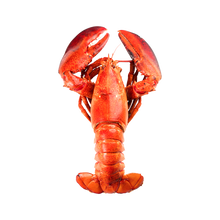 Load image into Gallery viewer, 1.75 lbs lobster