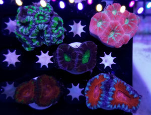 5 Acan Pack 150 Shipped