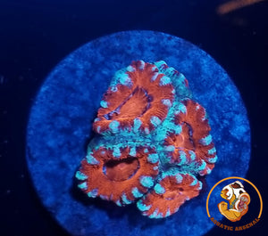 Acan Lord Frag A12-2019-09-19