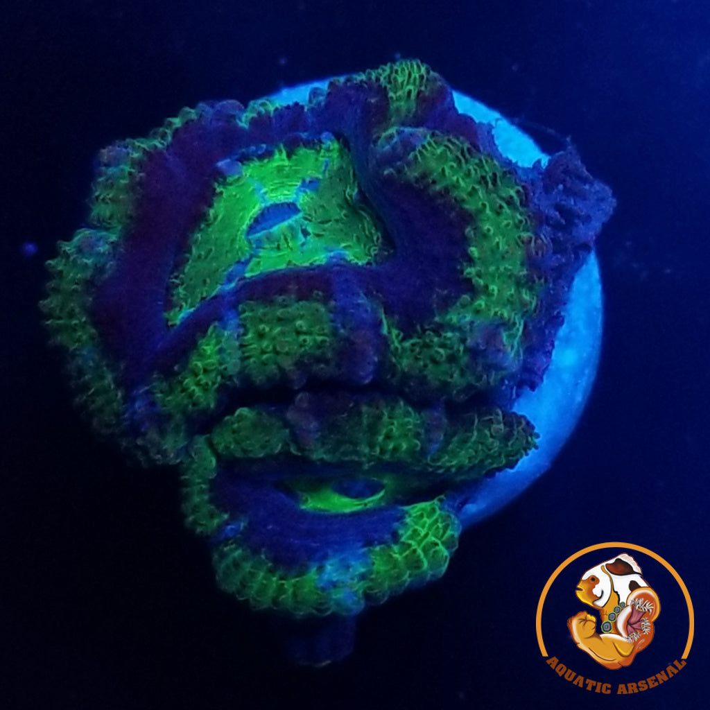 Blue Green Acan Lord A177-2019-09-25