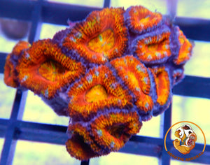 Mini Acan Colony A201-2019-10-04