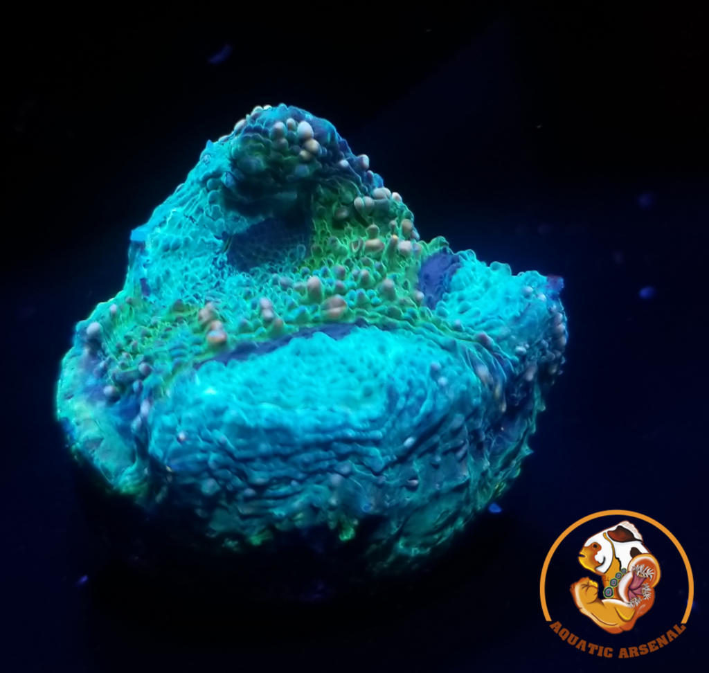 Rainforest Acan Echinata Frag A24-2019-09-19