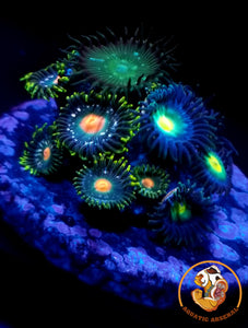 Blue-Green Zoa With Green Paly A8-2019-09-19
