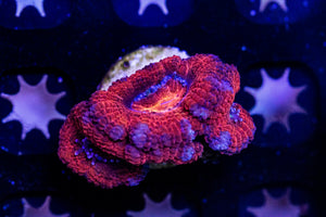 Smokey Fire Acan