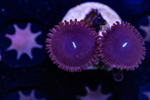 Purple People Eater Zoa