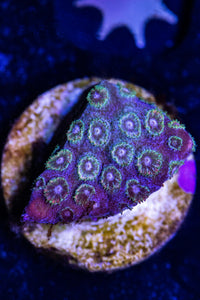 Multi Color Cyphastrea