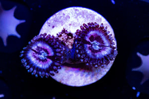 Pink and blue Zoa