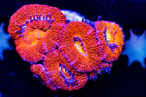 Bright Orange/Red Acan