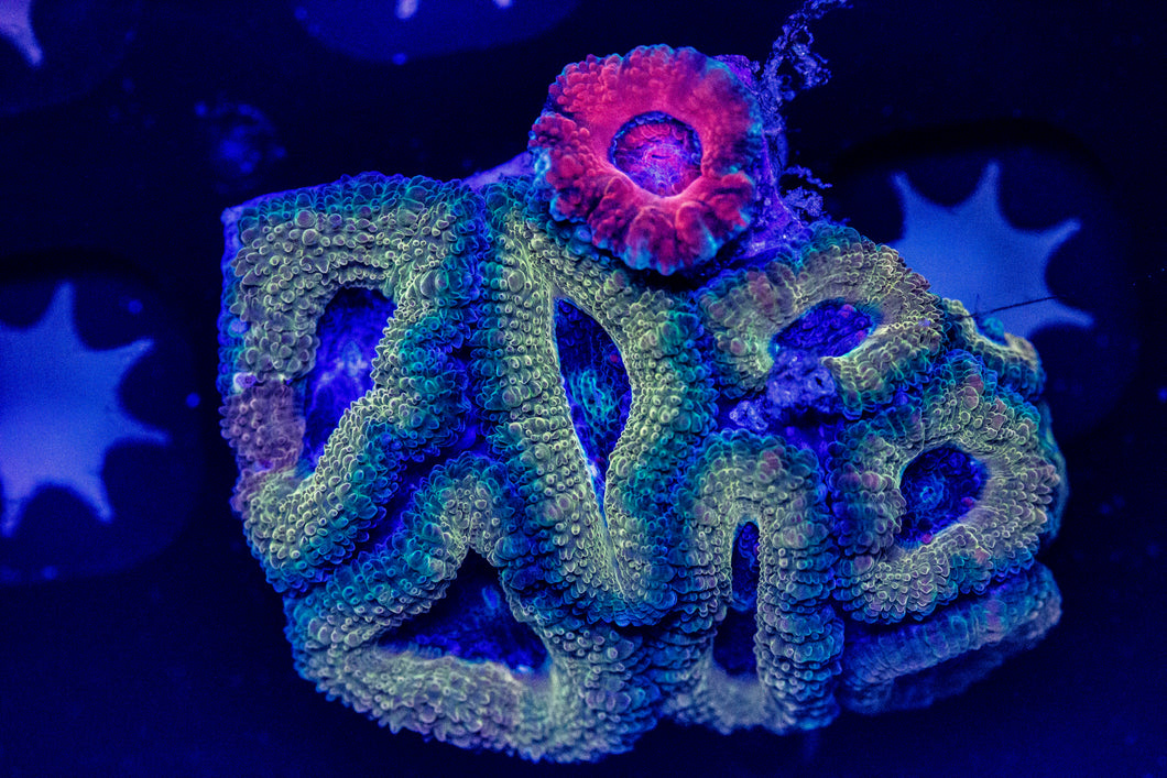 Black Center Acan chunk